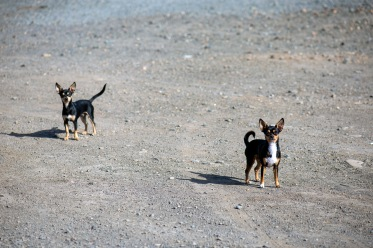 I have no idea why I dislike the town of Colesberg but I do. So, for Colesberg, I give you an image of two tiny dogs.